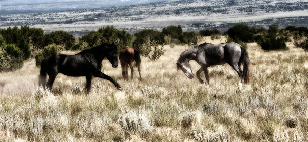 The Challenge  Two stallions challenge each other to protect their mares.  Rachael Waller Photography wild horses