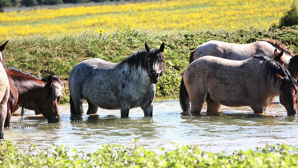 Taking a dip in the watering hole.<br /> Rachael Waller Photography<br /> Wild Horses