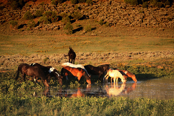 Evening thirst<br /> <br /> Rachael Waller Photography<br /> wild horses