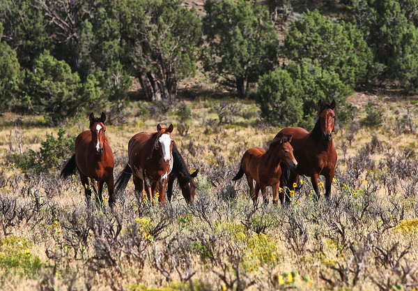 Head Stallion (far right) watches over his young colt and mares.<br /> Rachael Waller Photography<br /> Wild horses