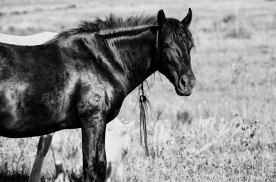 "Spirit of the mane Pryor Mountain rescued wild horse Stiles lives his life in beauty on the Monero Sanctuary.   Rachael Waller Photography  wild horses  *Stiles now lives on 5000 acres roaming free among 100 other rescued souls (no cross fencing) in a sea of wild sunflowers and a bounty of native grass, several huge ponds to drink and bath in, rolling hills and wooded areas, mixing with other bands in a social environment, but Stiles prefers the 5 mile range near Sandy's house and his band of misfits he adopted, the little mare Pinta, the 2 year old colt Jefita, and a Donkey named ""Bob"" and a few others, together they roam in peace and beauty in a place that loves them and allows them the space and freedom to be a wild horses. Thanks Stiles, we think you are amazing and such a gracious and gentle soul."