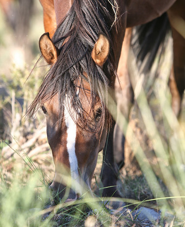 Sun Dancer in the tall grass- Band Stallion Wild Horses Rachael Waller Photography