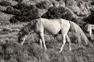 Juan- Band Stallion Wild horses Rachael Waller Photography 2010