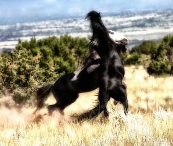 Battle  Wild horses Rachael Waller Photography