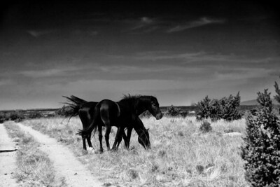 Two Blacks Rachael Waller Photography Wild Horses  On an old forgotten road two stallions feel the wind.