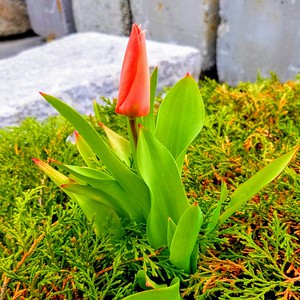 Winter Tulip - New York