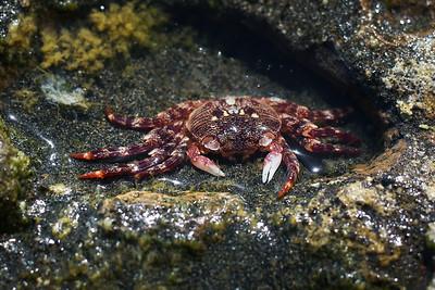 NZA-17 Muriwai Crab