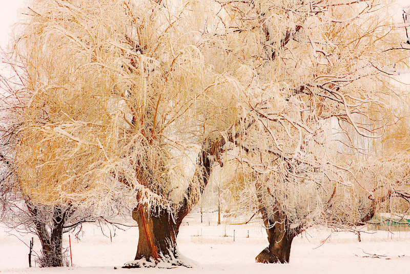 The golden trees in the country frosted by the fresh snow. Buy this print in all sizes.