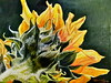 """Sunflower Series 4"""