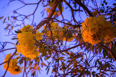 Day 70 Glowing Tabebuia