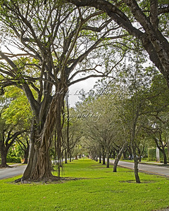 Day 51 Tree-lined Alhambra Circle in Coral Gables, FL