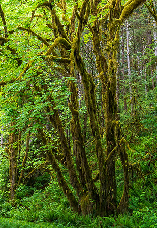 Mossy Tree, Quinault Rainforest