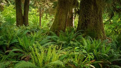 Hall of Mosses, Hoh Rainforest