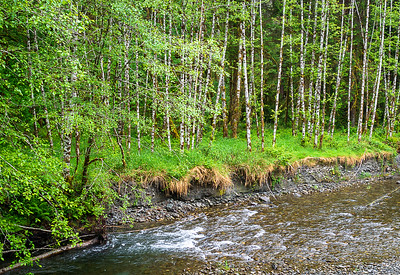 Along the Quinault River