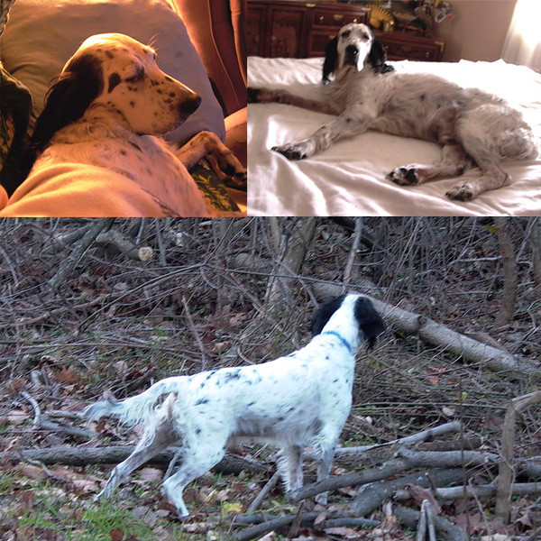 "Reference Photos<br /> <br /> I'll have printed reference materials and digital images to be viewed on screen as the painting progresses.<br /> <br /> 'Scotchie"" the English Setter model really is an excellent grouse hunter, but he can assume an angelic countenance and has a tendency to take up most of the bed at night."