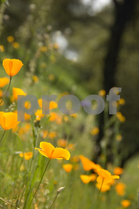 California Poppy Hillside