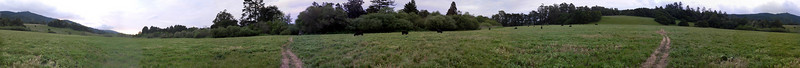 This is a meadow with some grazing cattle near Olema at Point Reyes