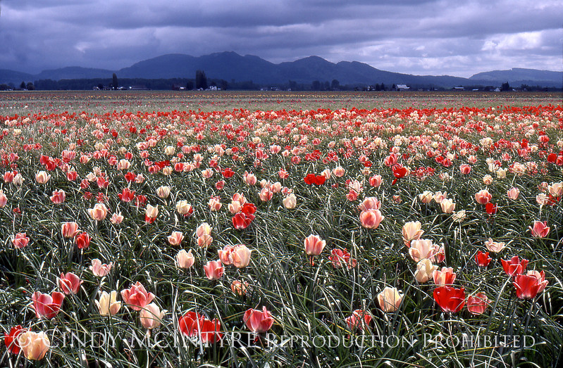 Skagit Valley Tulups copy
