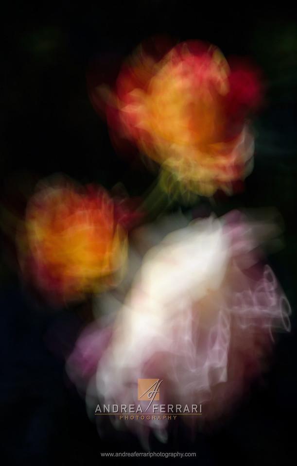 Antique roses 4