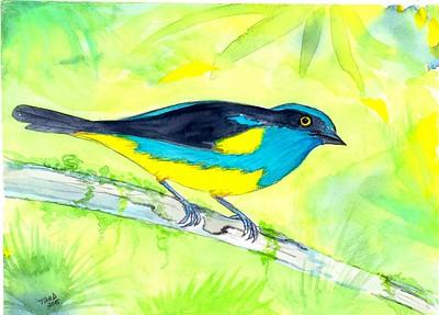 Yellow-tufted Dacnis- Ecuador, 8.5x6, watercolor, nov 10, 2015.
