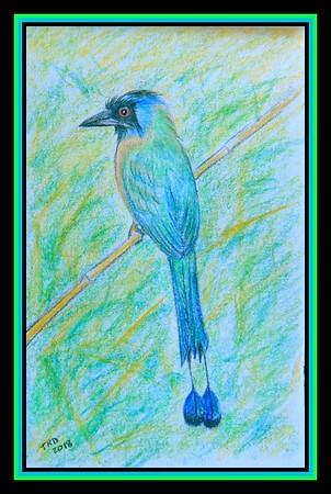 1-Blue-crowned Motmot - Trinidad. 8x5.25, color pencil, jan 14, 2018.I