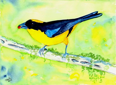 Blue-winged Mountain Tanager, 8.5x6, watercolor, nov 10, 2015.