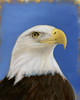 Lady CLT - Bald Eagle Portrait