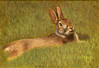 """A Day in the Life of a Rabbit Part 2"" A painting of an Eastern Cottontail Rabbit - September 2011"