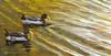 An original oil painting of mallard ducks on Lake Louise in Weaverville, NC