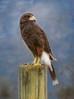 Scout in the Clouds - Harris's Hawk Portrait