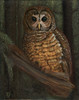 """Northern Spotted Owl in Deep Pine Forest"" - A portrait of a Northern Spotted Owl"