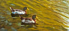 An original oil painting of mallard ducks on Lake Louise in Weaverville, NC.