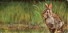 Completed painting of an Eastern Cottontail Rabbit in a grassy setting.