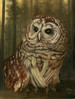 A portrait of Barry the Barred Owl watching the sun go down and looking forward to his dinner (or breakfast).
