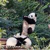 Adorable Baby Pandas