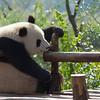 Giant Panda 大熊猫