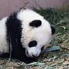 Adorable Baby Pandas 大熊猫