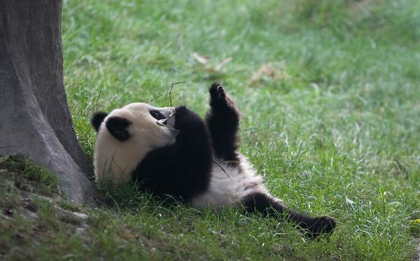 Panda 熊猫