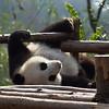 Giant Panda 大熊
