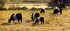 Belted Galloways 10x20 copy