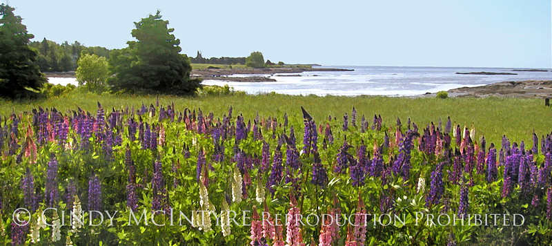 Down East Lupines 10x20 copy