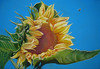 "<h2> Bee Magnet </h2>  Pastel on Paper  18.5"" x 12.75"" $350."