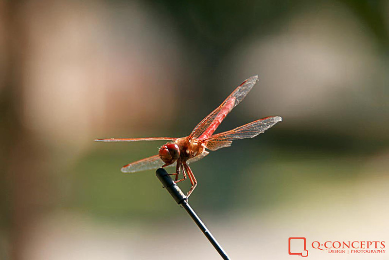 I have yet to see an ugly dragonfly, and this is no exception.