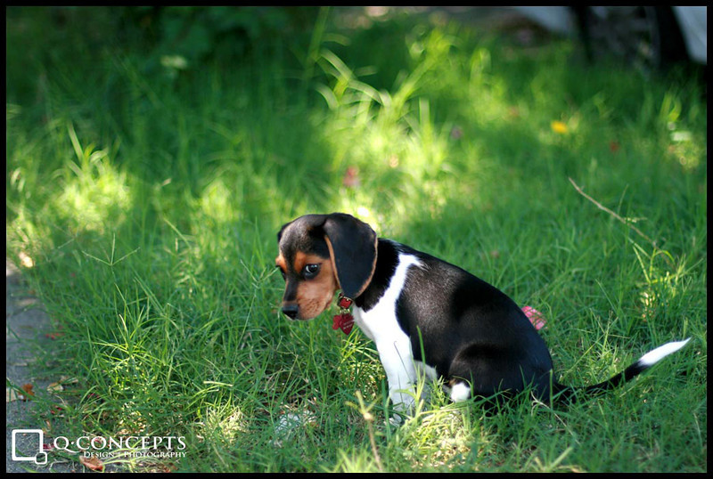 Trinity at 9 weeks old. I've always had a great fondness for dogs, and especially Beagles.