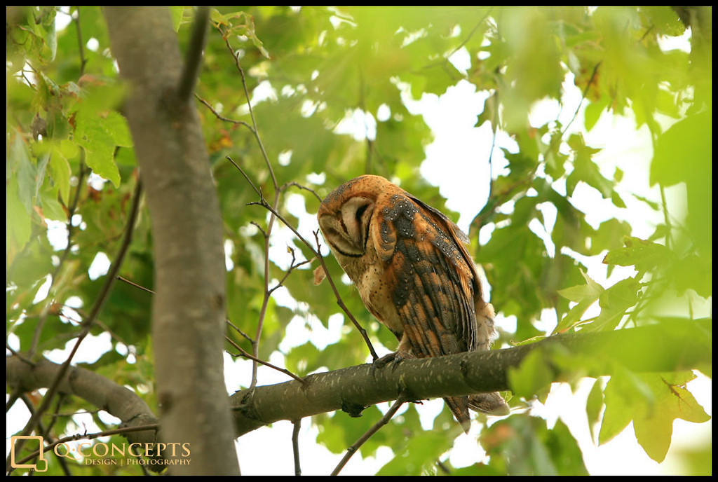 This owl decided to hang out outside the office one day. I had never seen an owl 'in the wild' before, so I grabbed my camera and shot away. I piqued his interest and his head swiveled to track me at every moment. I wasn't quite sure if I was supposed to head to Hogwarts or not...