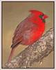 Cardinal (71751533)