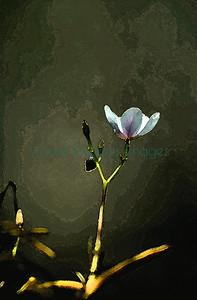 27859_the unique rare Calendrinia