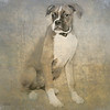 Boxer Granger-Photo by Dan Smigrod and Artist David Schendowich (PhotoArt361 blogspot com)