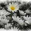 IMG_7280 8x10 selective color daisy 2