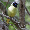 IMG_9136 Green Jay Best 5x7